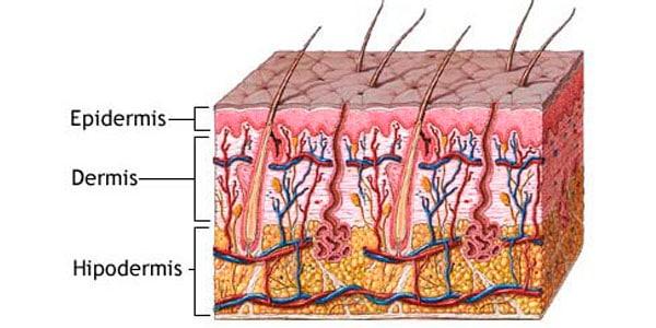 anatomía de la epidermis